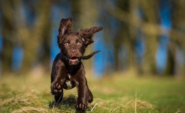 苏塞克斯猎犬