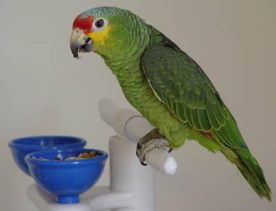 红额亚马逊鹦鹉