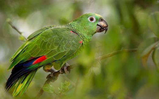 黄冠亚马逊鹦鹉