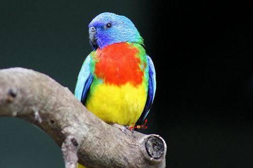 鲜红胸鹦鹉