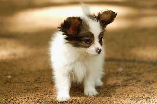 小型葡萄牙波登可犬