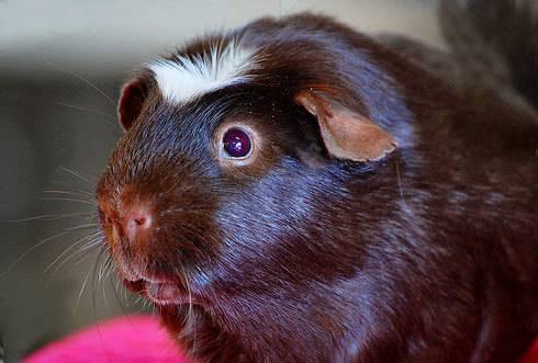 巧克力美洲白冠天竺鼠