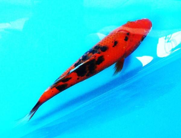 赤别甲锦鲤