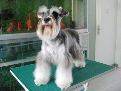 标准型雪纳瑞犬