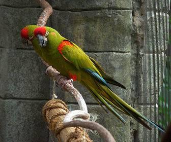 红额金刚鹦鹉