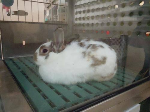 英国斑点兔
