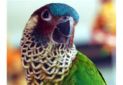 彩绘锥尾鹦鹉