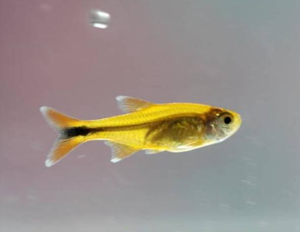 黄日光灯鱼