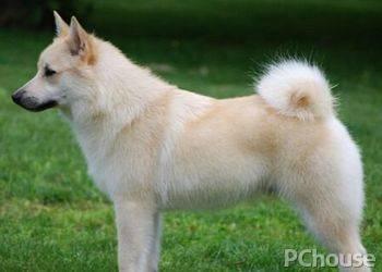 挪威布哈德犬