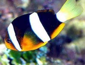 黑双带小丑鱼