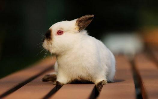 喜玛拉雅兔