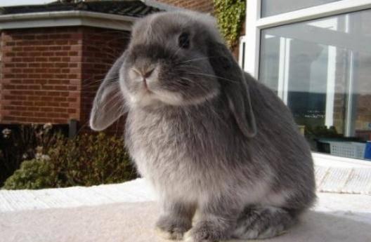 美国费斯垂耳兔