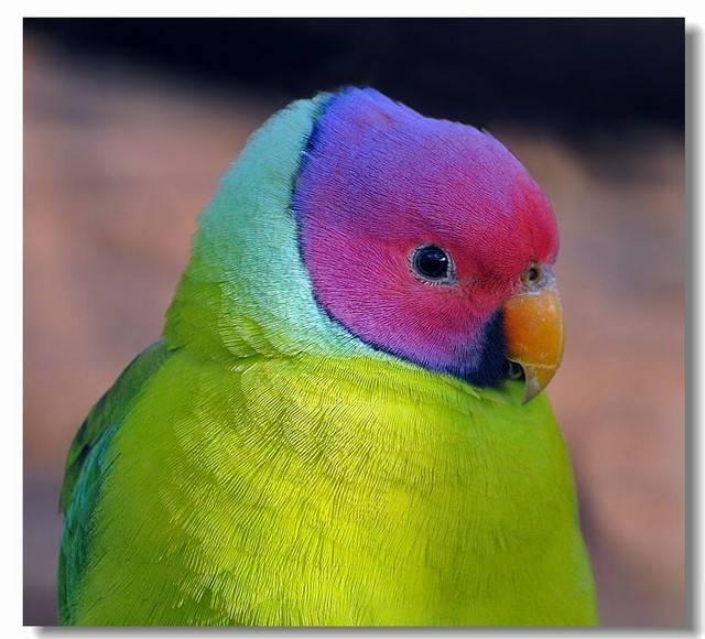 紫红头鹦鹉