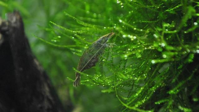 锯齿新米虾
