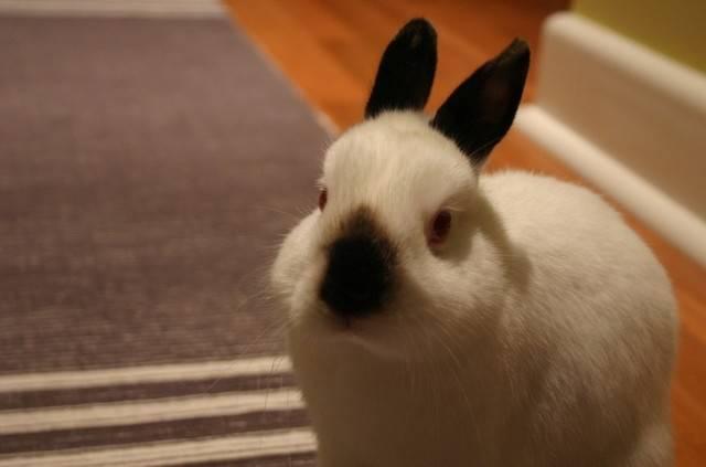 喜马拉雅兔