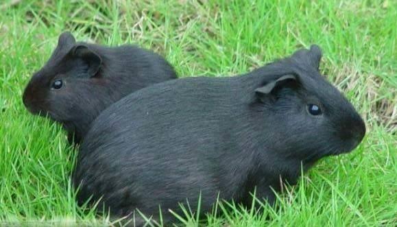纯黑天竺鼠