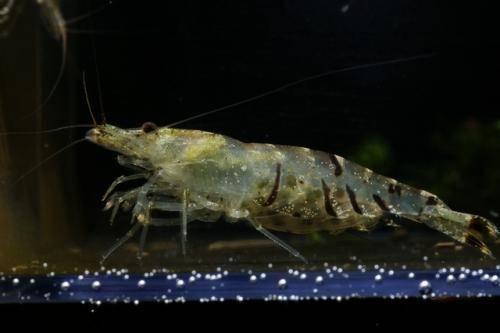 异足新米虾