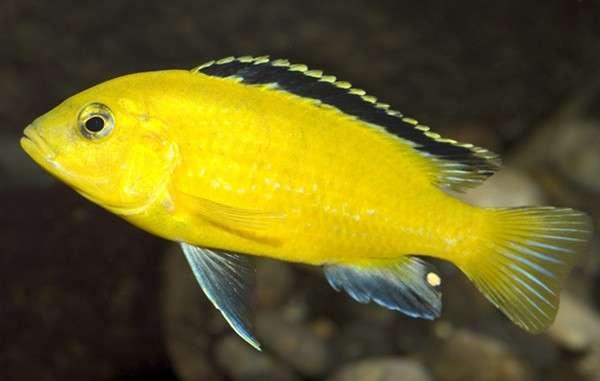 非洲王子鱼