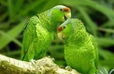 绿颊亚马逊鹦鹉