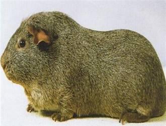 银色刺毛天竺鼠