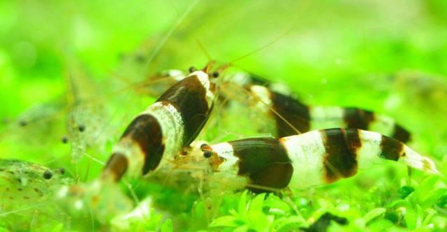 白头蜜蜂虾