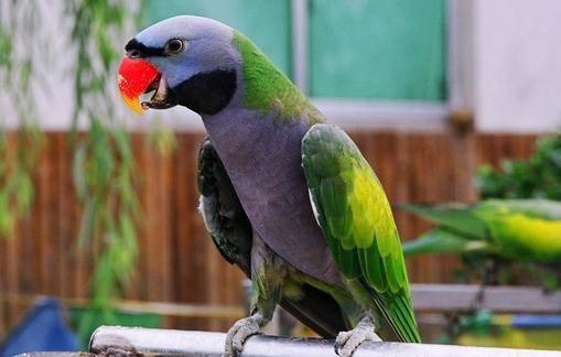 小绯胸鹦鹉