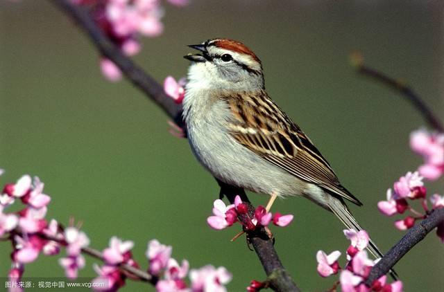 歌唱金麻雀