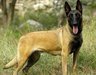 比利时马林诺斯犬