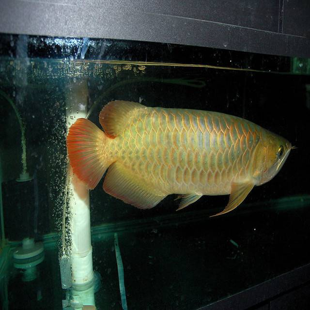 红尾金龙鱼