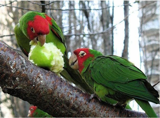 红面具锥尾鹦鹉