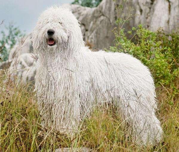 匈牙利牧羊犬