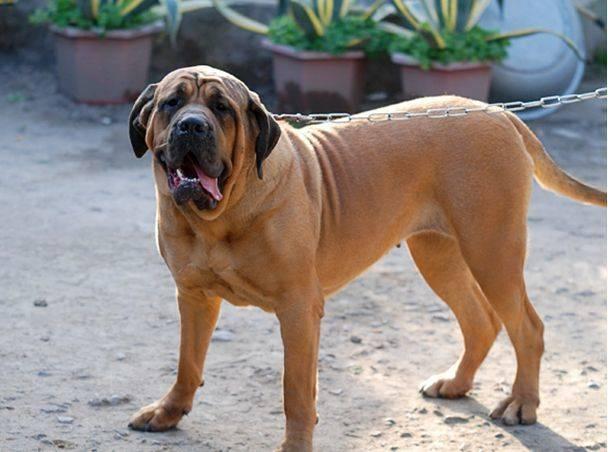 马士提夫獒犬
