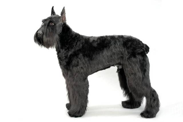 巨型雪纳瑞犬