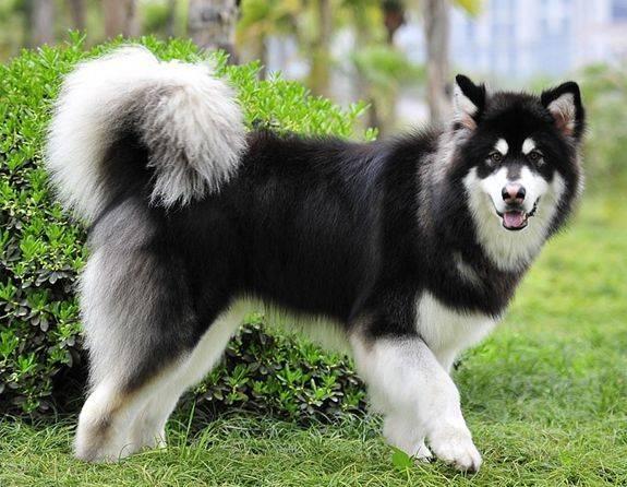 阿拉斯加雪橇犬