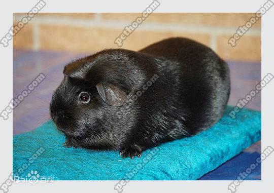 黑色凤冠天竺鼠