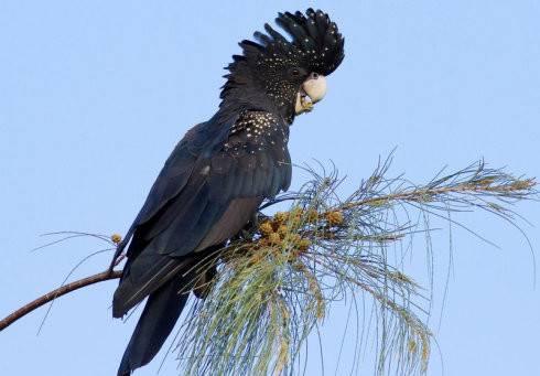 红尾黑凤头鹦鹉