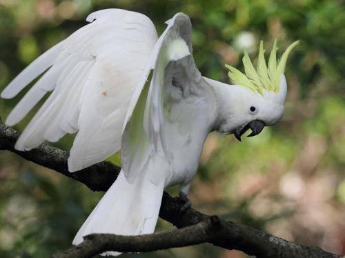 葵花凤头鹦鹉