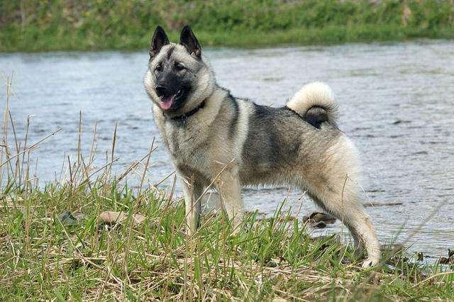 挪威猎鹿犬
