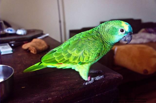 白顶亚马逊鹦鹉