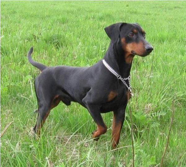 德国宾莎犬