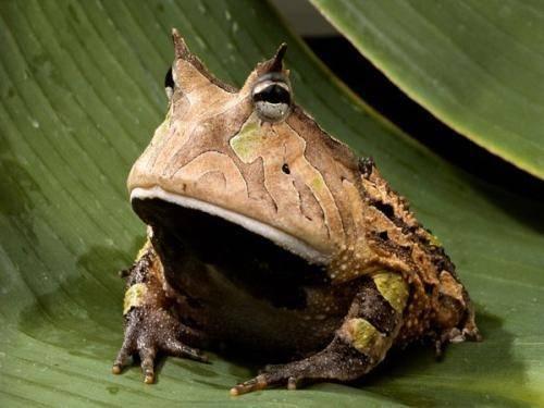 亚马逊角蛙