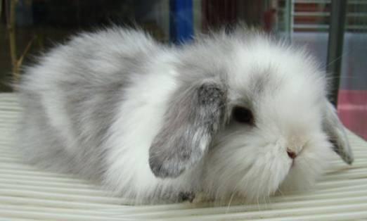 泽西长毛兔