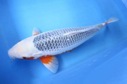 水浅黄锦鲤