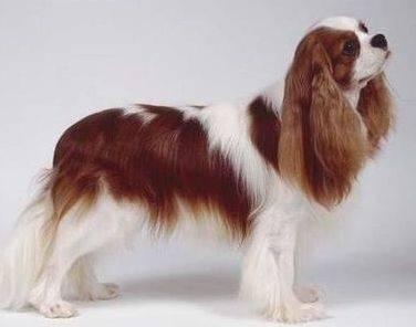 英国玩具犬