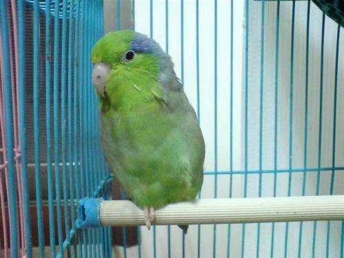 太平洋鹦鹉