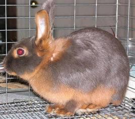 美国黄褐色家兔