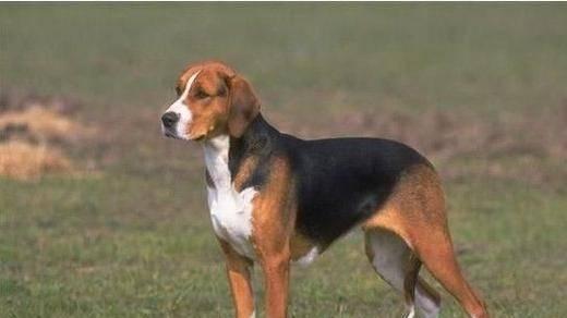 英国猎狐犬