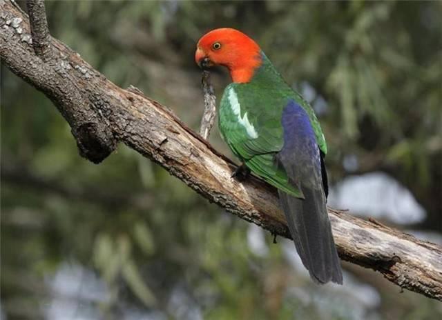 澳洲国王鹦鹉