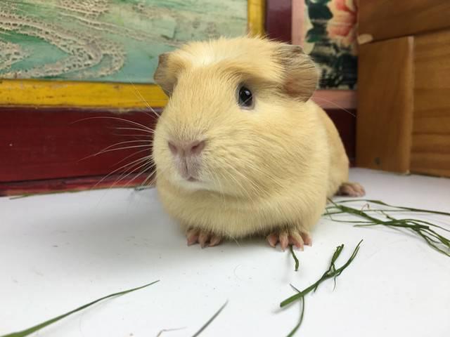 英种天竺鼠