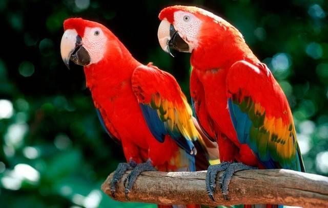 绯红金刚鹦鹉